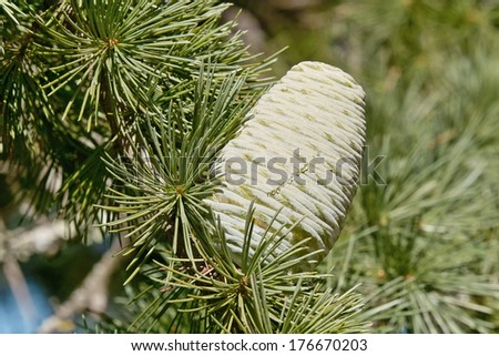 female cone of himalayan cedar or deodar cedar, cedrus deodara - stock photo