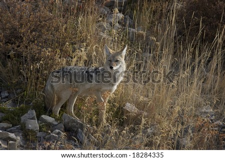 Female Coyote in the Lamar Valley Yellowstone National Park - stock photo