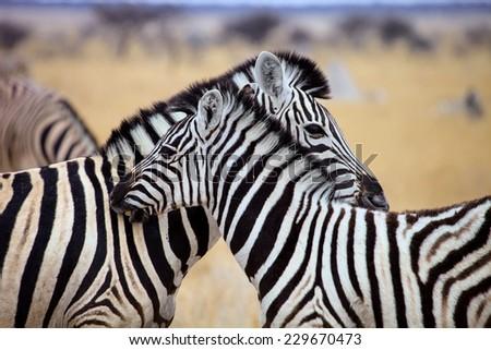 female Damara zebra, Equus burchelli antiquorum, with baby hair care for each other, Etosha National Park, Namibia - stock photo
