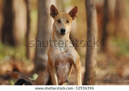 Female Dingo in Kakadu National Park, Australia - stock photo