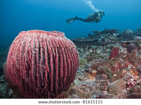 Female diver swimming behind a large barrel sponge, at Bali, Indonesia - stock photo