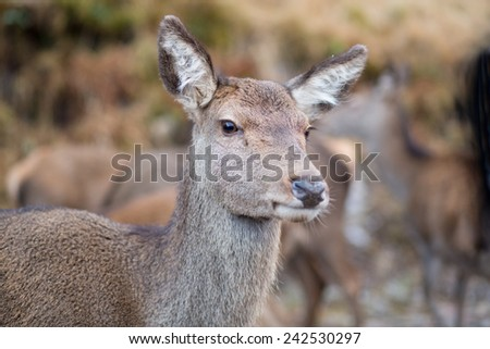 Female doe, close up profile of reindeer - stock photo