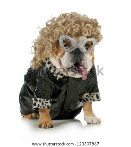 female dog - english bulldog wearing blonde wig and black leather coat isolated on white background - stock photo