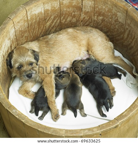 female dog with puppies (Border Terrier) - stock photo