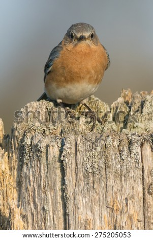 Female Eastern Bluebird perched on a fence post. - stock photo