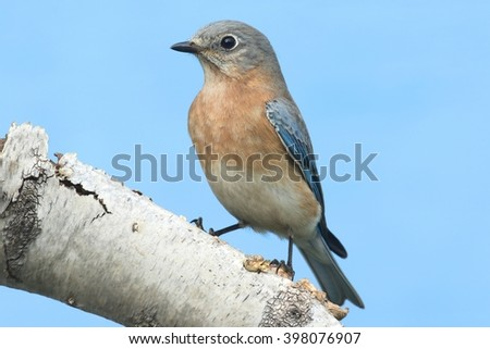 Female Eastern Bluebird (Sialia sialis) on a birch perch with a blue background - stock photo