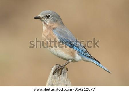 Female Eastern Bluebird (Sialia sialis) on a fence post - stock photo
