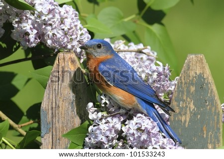 Female Eastern Bluebird (Sialia sialis) on a fence with Lilac flowers - stock photo
