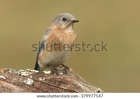 Female Eastern Bluebird (Sialia sialis) on a perch with a green background - stock photo