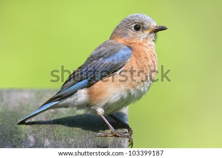 Female Eastern Bluebird (Sialia sialis) with a green background - stock photo