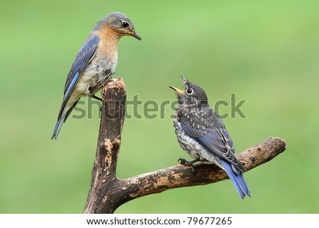 Female Eastern Bluebird (Sialia sialis) with her hungry baby - stock photo