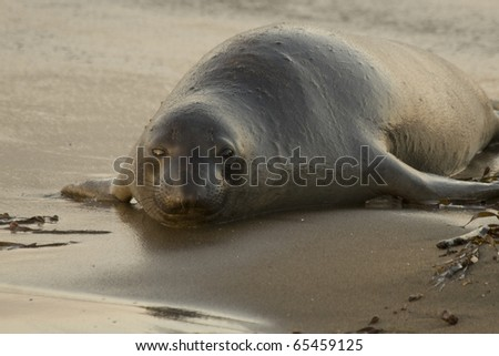 Female Elephant Seal on Beach in San Simeon - stock photo