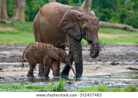 Female elephant with a baby. Central African Republic. Republic of Congo. Dzanga-Sangha Special Reserve.  An excellent illustration. - stock photo