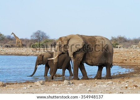 Female elephant with her calf drinking and bathing at a waterhole in Etosha National Park, Namibia - stock photo