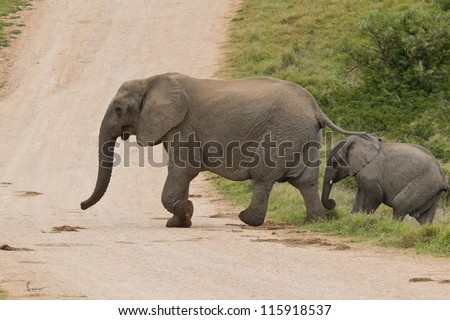 Female elphant and calf crossing a dirt road in the morning - stock photo