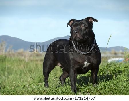 Female english staffordshire bull terrier - stock photo