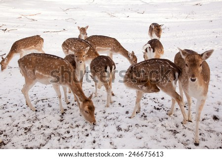 female fallow deer and group of young deer in the snow of a park in the netherlands - stock photo