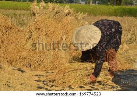 Female farmer gathering harvested rice paddy on to the ground to dry them up - stock photo