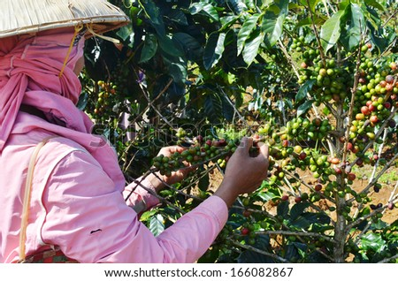 Female farmer hand picking arabica coffee berries in red and green on its branch tree at plantation - stock photo