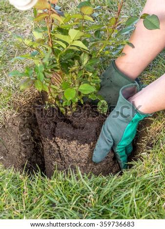 Female gardener planting rose shrub in the dug hole in her backyard garden - stock photo