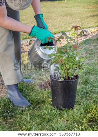 Female gardener watering potted rose shrub before planting it in in her backyard garden - stock photo