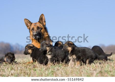 Female German Shepherd dog with many puppies - stock photo