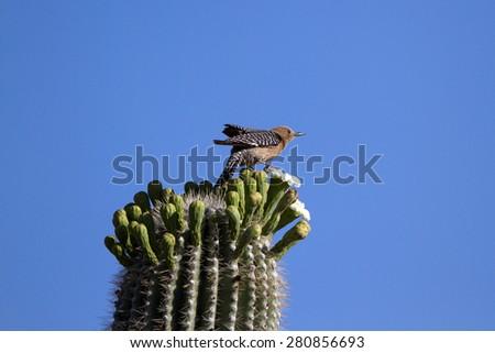 Female Gila Woodpecker atop a Giant Saguaro Cactus - stock photo