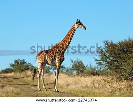 Female Giraffe in the bushveld of South Africa. - stock photo