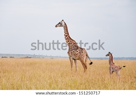 female giraffe with baby in the savannah in east africa - nationall park masai mara in kenya - stock photo