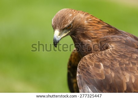 female golden eagle - stock photo