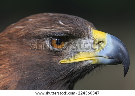 female golden eagle in detail - stock photo