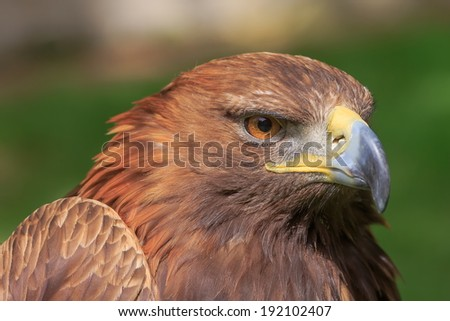 female golden eagle portrait - stock photo