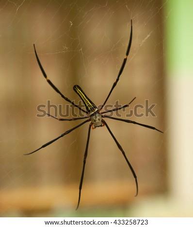 Female golden web spider Nephila pilipes Bali, Lombok , Indonesia - stock photo