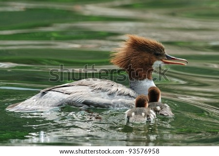 female Goosander (Mergus merganser) with chicks in water - stock photo