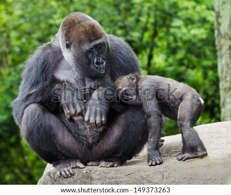 Female gorilla caring for young - stock photo