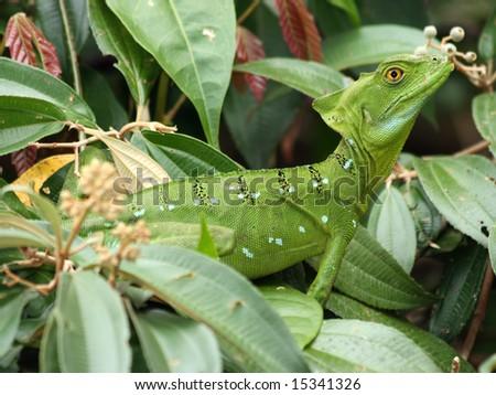 Female Green Basilisk in Tortuguero, Costa Rica (March 2008) - stock photo