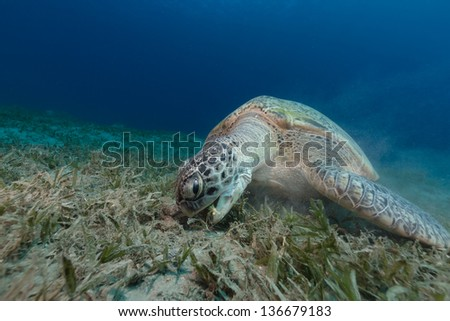Female green turtle eating sea grass - stock photo