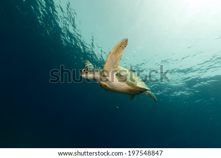Female green turtle in the Red Sea - stock photo