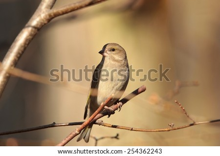 Female Greenfinch (Carduelis chloris) on a twig at dawn. - stock photo