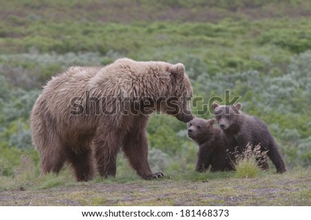 Female grizzly instructing her cubs. - stock photo