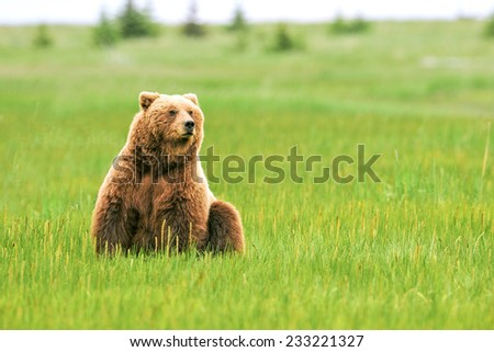 female grizzly or brown bear sitting in grassy meadow in lake clark national park alaska - stock photo