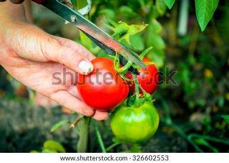 Female hand cutting tomato in garden - stock photo