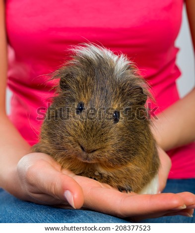 Female hand holding a beautiful guinea pig - stock photo