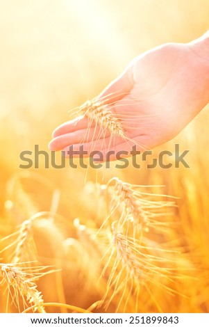 Female hand in cultivated agricultural wheat field. Crop protection concept. - stock photo