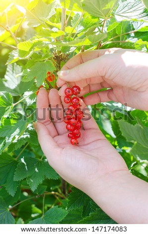 Female hand picking up redcurrant - stock photo