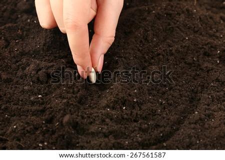 Female hand planting white bean seed in soil, closeup - stock photo