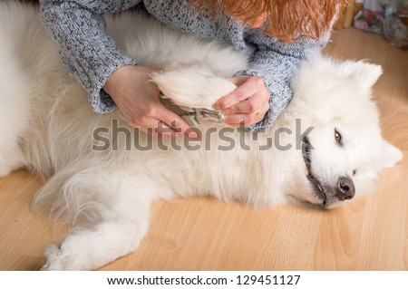 Female hands cutting claws on bright white samoyed dog. - stock photo