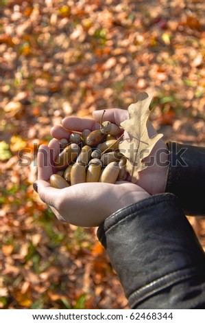 Female hands holding a handful of acorns on the background of the fallen yellow leaves. - stock photo