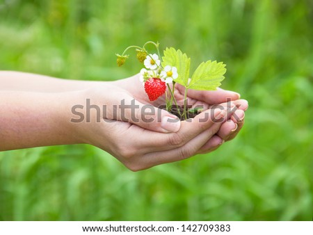 female hands holding a strawberry - stock photo