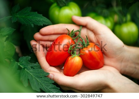 Female hands holding ripe tomatoes bunch against ripening tomatoes background. Locavore, clean eating,organic agriculture, growing,harvesting concept - stock photo